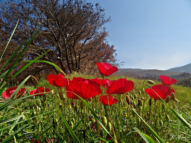 Spring...poppies and blue sky !!!