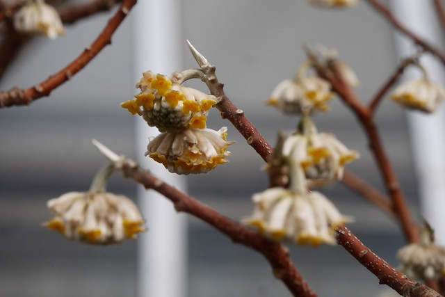 金, 2016-03-11 13:24 - Brooklyn Botanic Garden