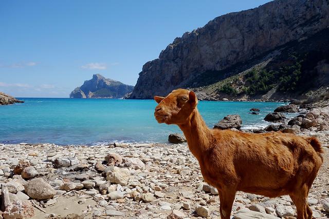 Cala Boquer & Wild goat