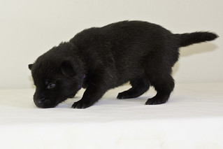 Kumi-Litter5-Day20-Puppy6-Female-c | by brada1878