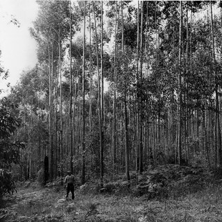 Blackbutt regrowth established March 1939 after severe fire.  Thinned.