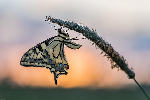*Schwalbenschwanz & Sonnenuntergang*
