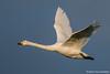 Cisne-bravo, Whooper swan (Cygnus cygnus) by Vasco VALADARES
