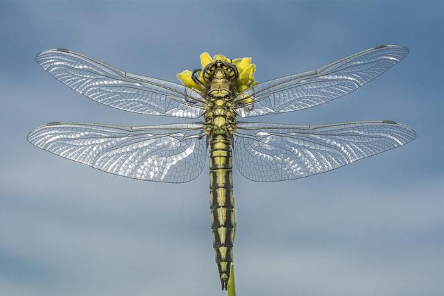 wingpan