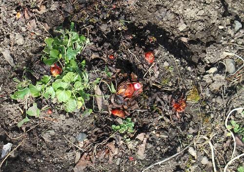 Rheum rhabarbarum - rhubarbe des jardins 25830003201_c908da4b76