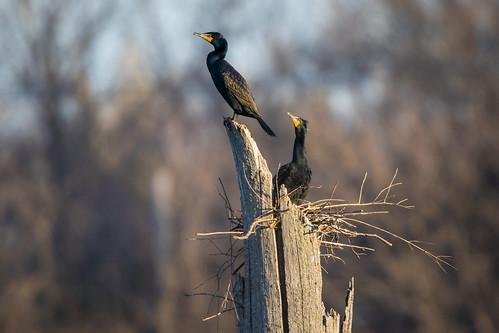 nature us illinois spring unitedstates cormorant doublecrestedcormorant phalacrocoraxauritus almondmarsh grayslake lcfpd lakecountyforestpreservedepartment
