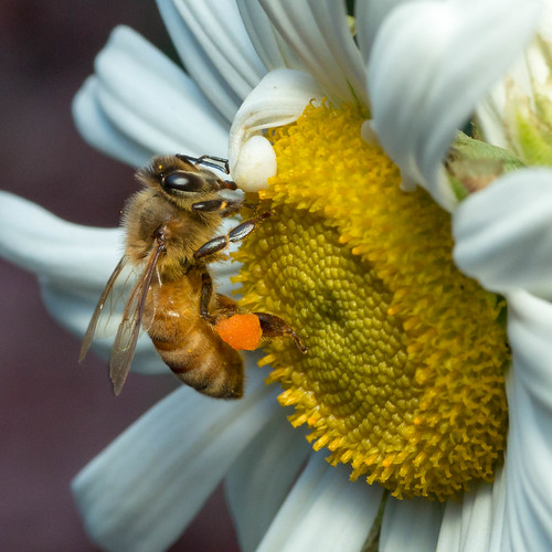 macro nature canon insect bee honey tamron 90mm 90 pollenbasket 70d corbicula beepollen beebread