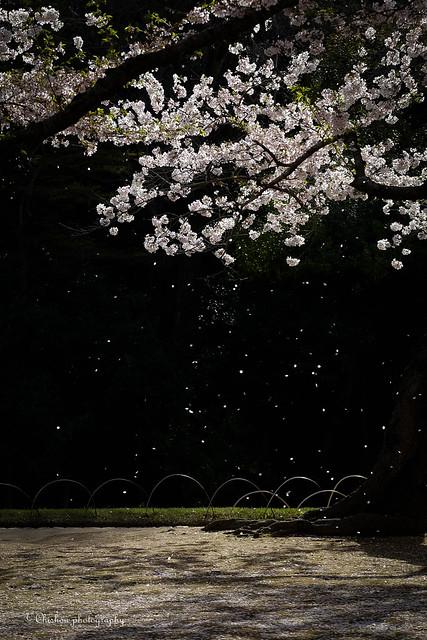 桜(Cherry Blossoms)〜2016