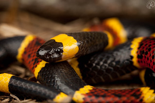 Micrurus tener tener (Texas Coral Snake) | by Kyle L.E.