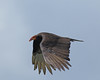 Lesser Yellow-headed Vulture by Keith Carlson