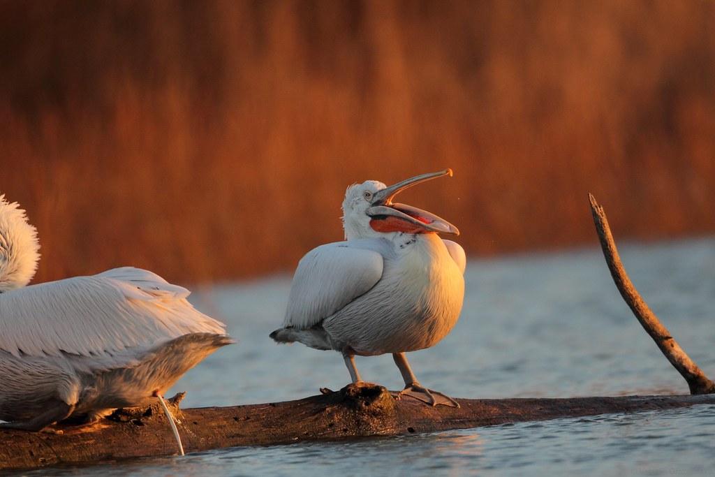06_pelican curatand pliscul 03
