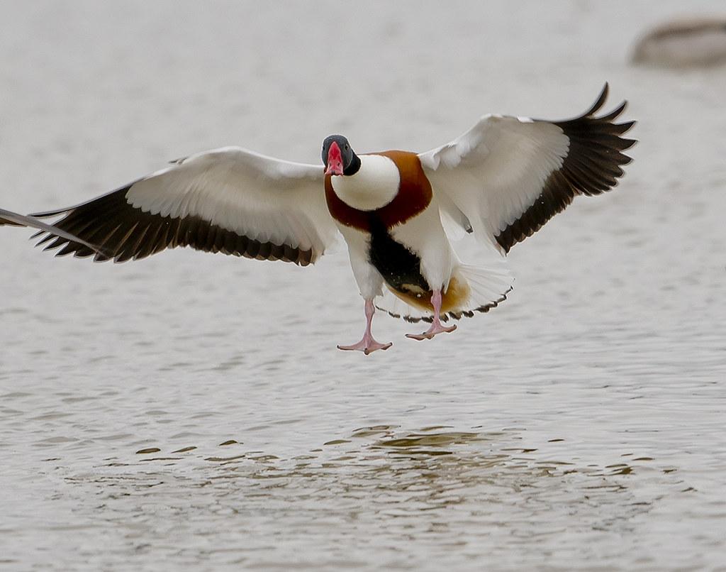 Ànec blanc aterrant / Landing shelduck
