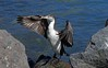 Young Pied shag drying its wings Phalacrocorax varius by Maureen Pierre
