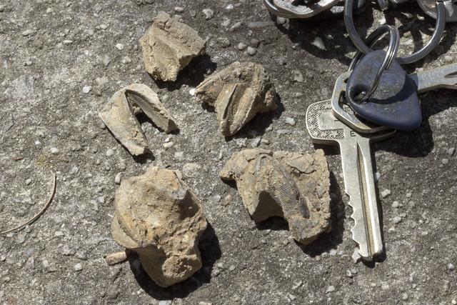 Blastoids, Bangor limestone, East Tennessee