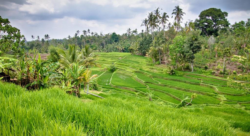 Rice Paddies • Bali, Indonesia   >>> Watch my brand new dron