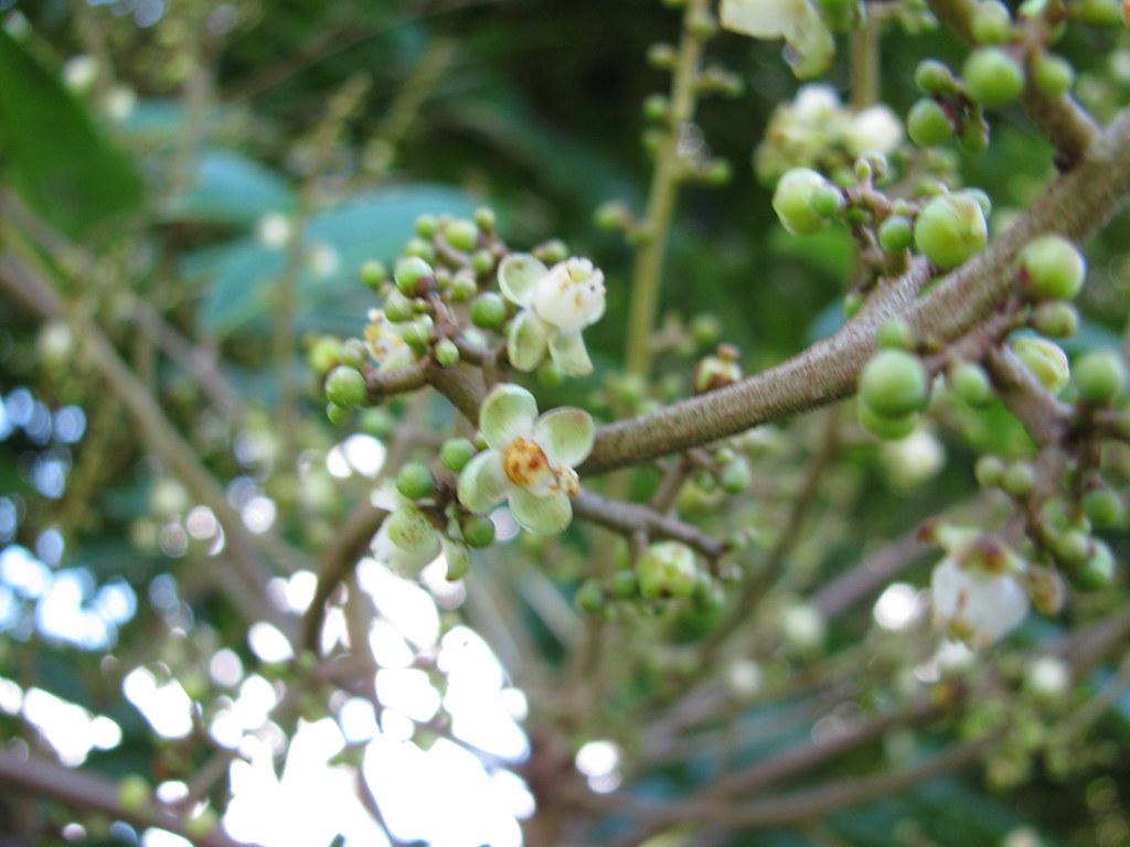 starr-091104-0928-Carapa_guianensis-flowers-Kahanu_Gardens_NTBG_Kaeleku_Hana-Maui