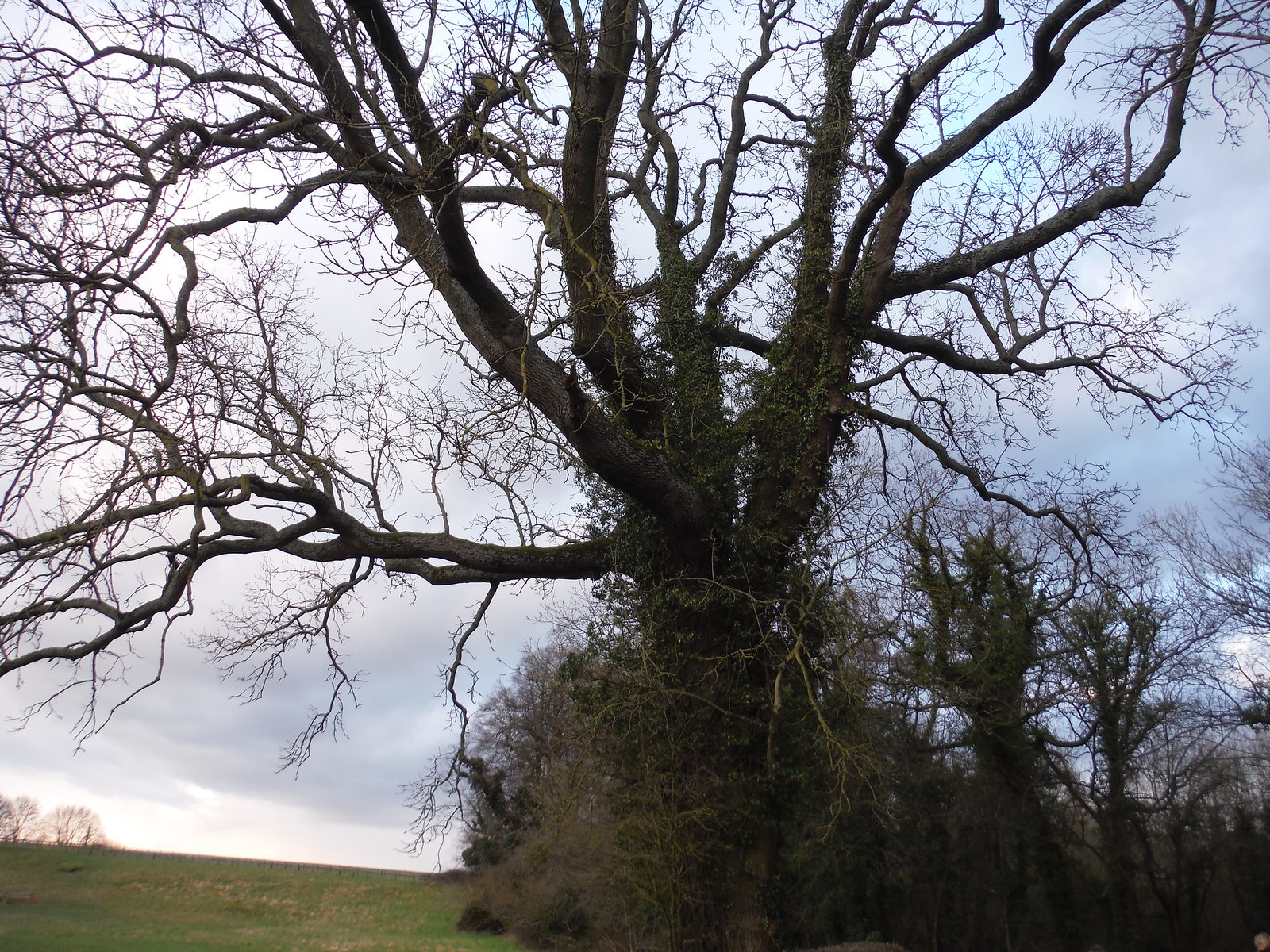 Tree SWC Walk Cheddington to Leighton Buzzard