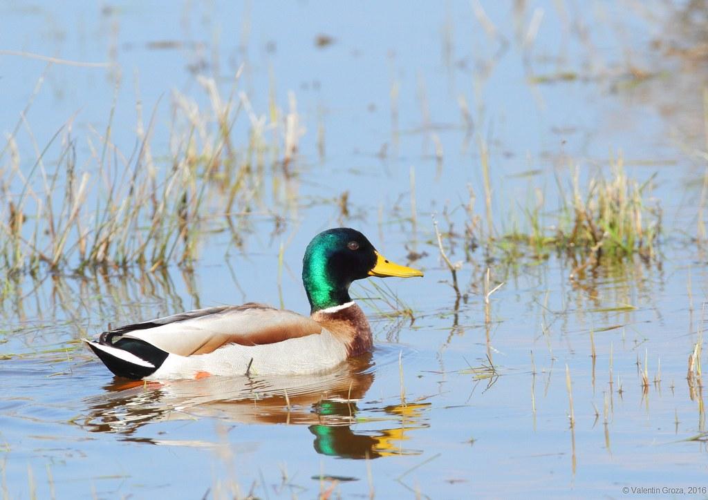 wild duck 03