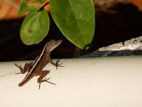 Cancun - gekko zonder staart
