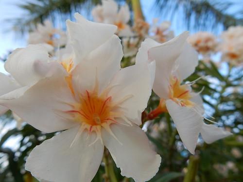 Tulum - bloem