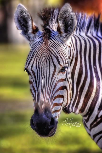 Zebra - Head Shot