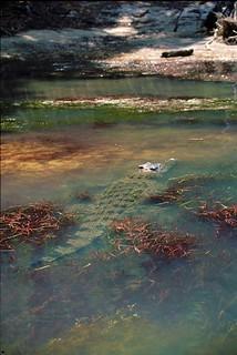 Schuilende krokodil - Hiding crocodile, East alligator river