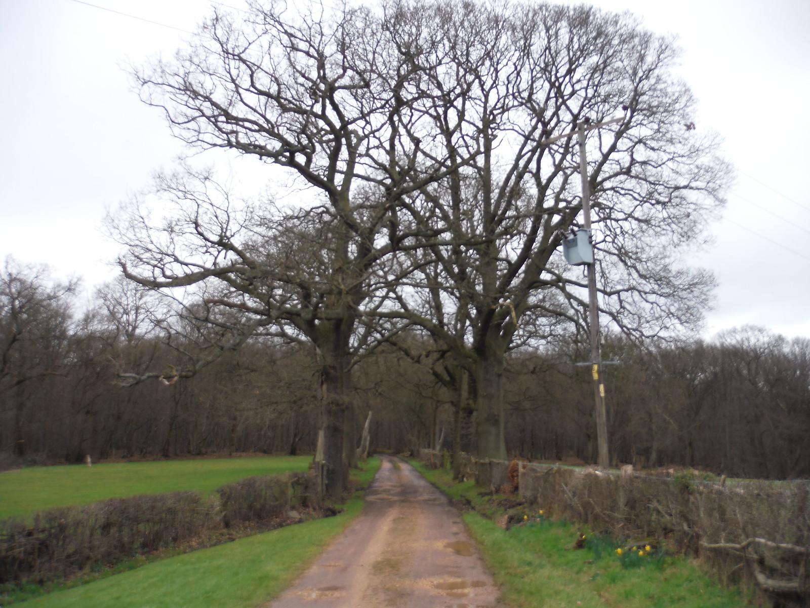 Oak Trees along driveway, Hoddesdon Lodge SWC Walk 168 Broxbourne Circular