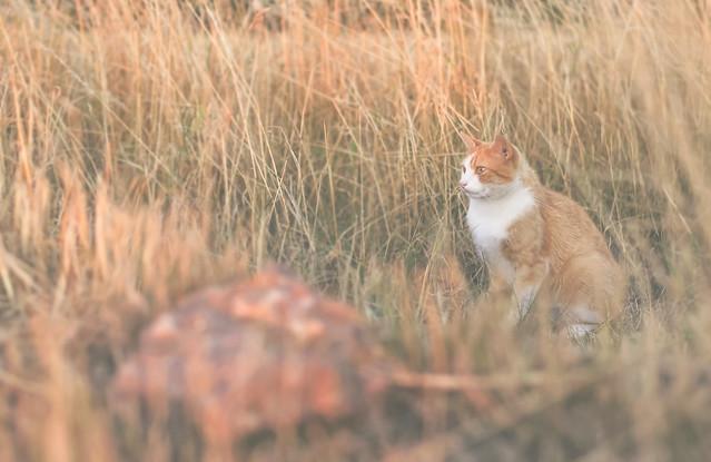 Golden hour cat