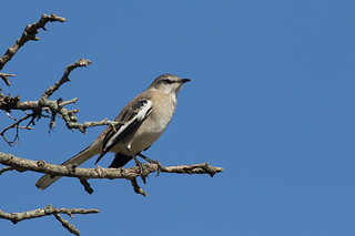 Calandria Real - Mimus triurus - White-banded Mockingbird | by Jorge Schlemmer