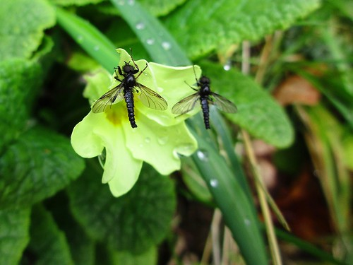 hbbbt fly diptera stmarksfly primrose spring beautifulnature islandwood newmarket cork ireland irish fauna flower woodland bibiomarci canonixus170 macro 2016onephotoeachday wing