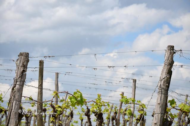 Le printemps dans le ciel et sur la vigne