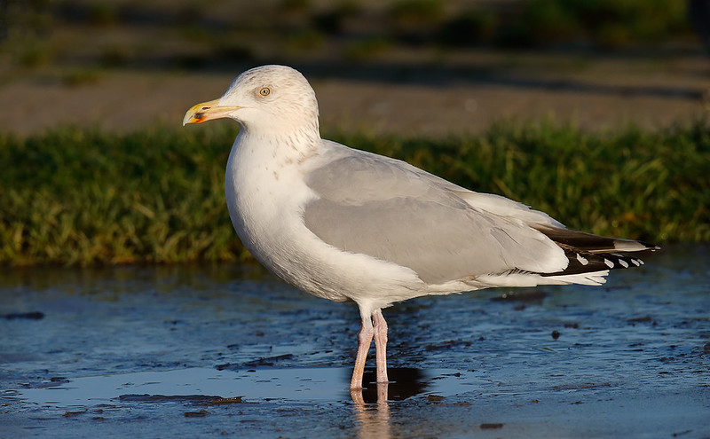 Herring Gull - adult winter