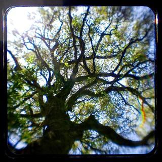 Tree #ttv #throughtheviewfinder #pentax #kodakduaflexiv