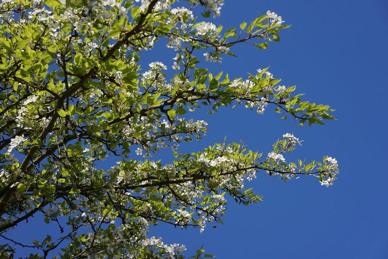 Kirsebærblomster2014