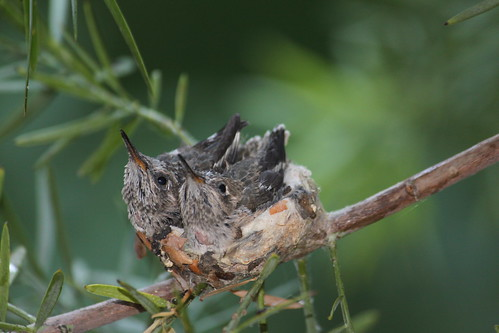 Anna's Hummingbird babies. | by Alexandra Rudge. Peace & love!