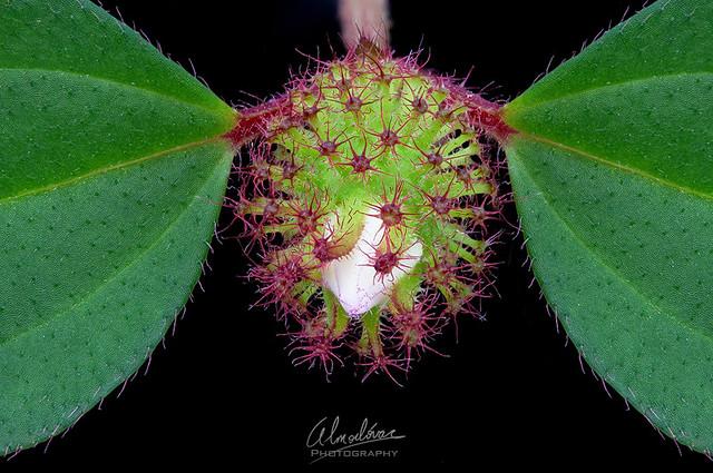 Heterotic rotundifolia bud.