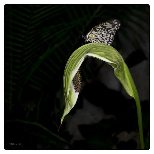 butterfly nikon missouri chesterfield d800 missouribotanicalgarden butterflyhouse paperkite sophiamsachsbutterflyhouse 50mmsigmaartlens