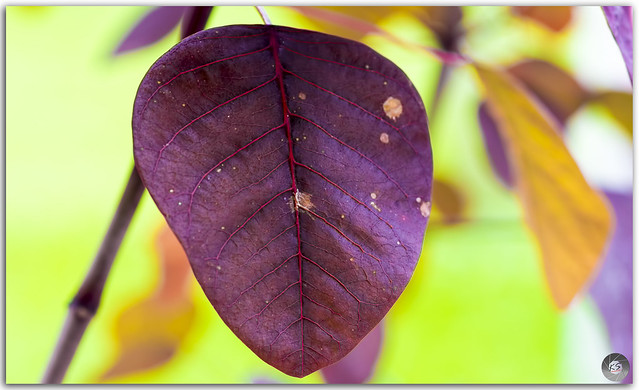 Poinsettia leave closeup with a distinctive pattern and color