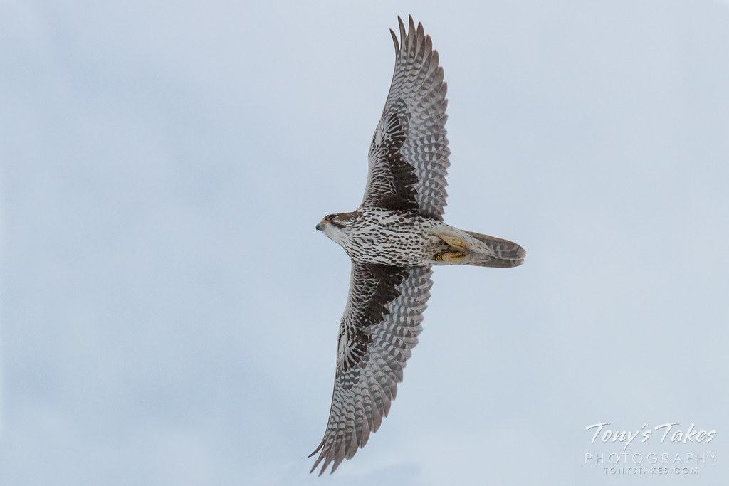 Prairie Falcon spreads its wings
