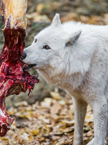 Wolf and meat II | by Tambako the Jaguar