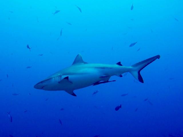 Requin gris de récif (Grey shark)