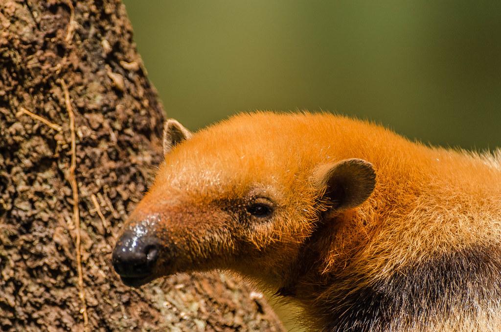"""Visita ao Zoológico de São Paulo, Brasil - Visit the Zoo Sao Paulo, Brazil -  Tamanduá-anão  """"Cyclopes didactylus'"""