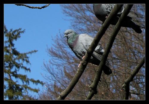 c'était l'heure de la sieste... des Pigeons 26025801301_e53b462a64