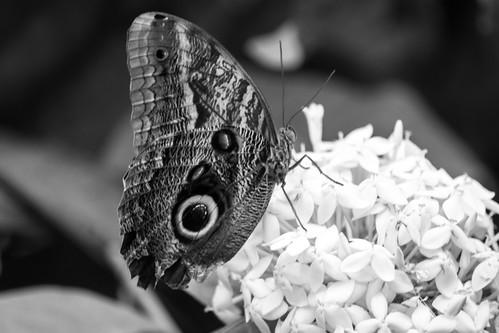 Tawny Owl Butterfly Caligo memmon