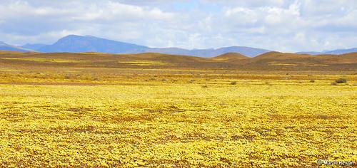 Mesembryanthemum clavatum flowers in the Tankwa Karoo