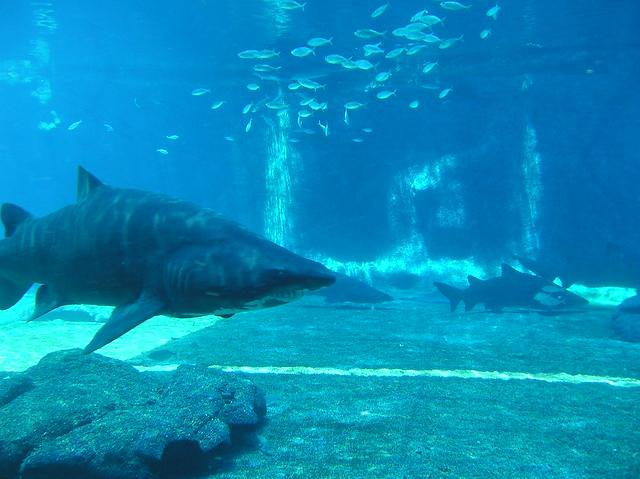 Ragged-tooth shark (Carcharias taurus)