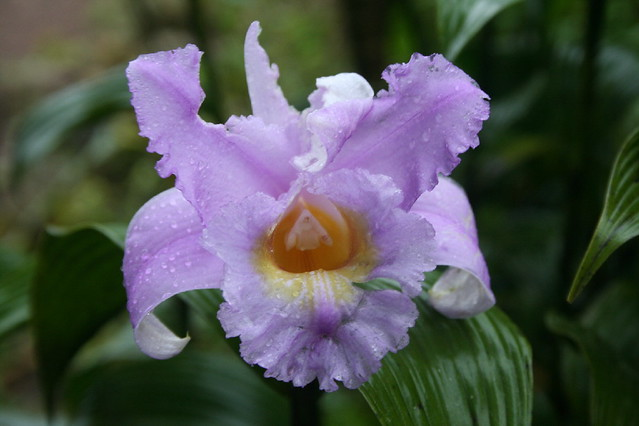 Raindrop in Orchid