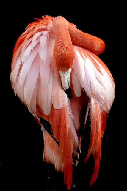 Riverbanks flamingo