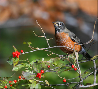 Robin and Winterberry II | by The Nature Nook