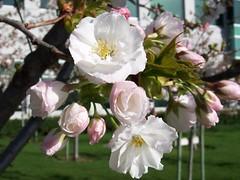 Blossoms III